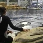 Killer whale attack video